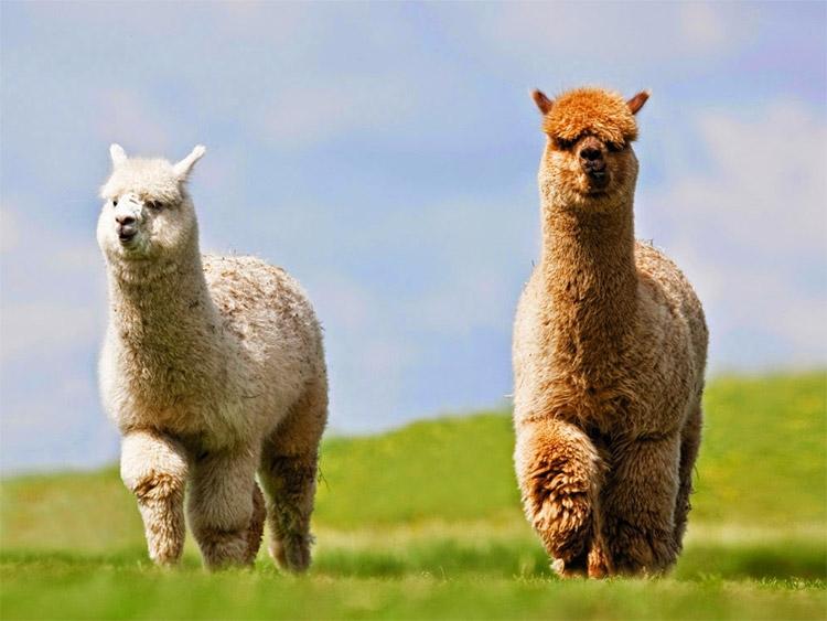 <b>Alpaca mest opruimen</b><br> Net als paardenmest is het van belang dat ook Alpaca mest op regelmatige basis uit de weide wordt gehaald.  Met de Logic MSP120 veegmachine kan Alpaca mest zeer snel worden opgeveegd en worden opgeruimd. Door de nauwkeurig in te stellen borstelbladen en door de rubberen lap voor de borstels kunnen de doorgaans kleinere mestkorrels van Alpaca's zonder problemen worden verwijderd.  Bij weides waar Alpaca's de mest hebben ingelopen raden wij de optionele rij springveren aan.